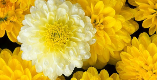 How to prune garden mum chrysanthemums from the experts at wilson how to prune garden mum chrysanthemums mightylinksfo