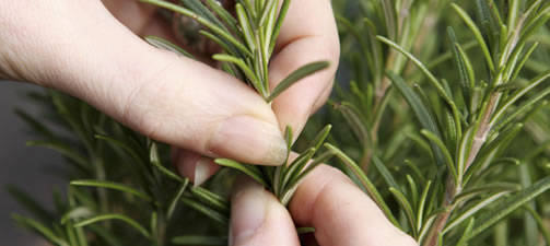How To Prune Herbs
