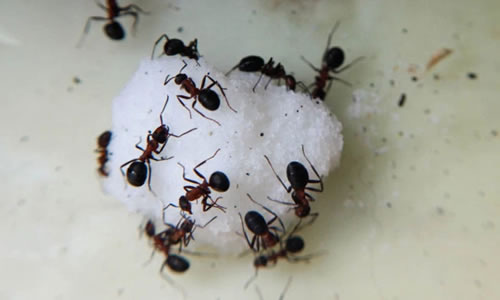 How To Control Sugar Ants In The Home And Garden