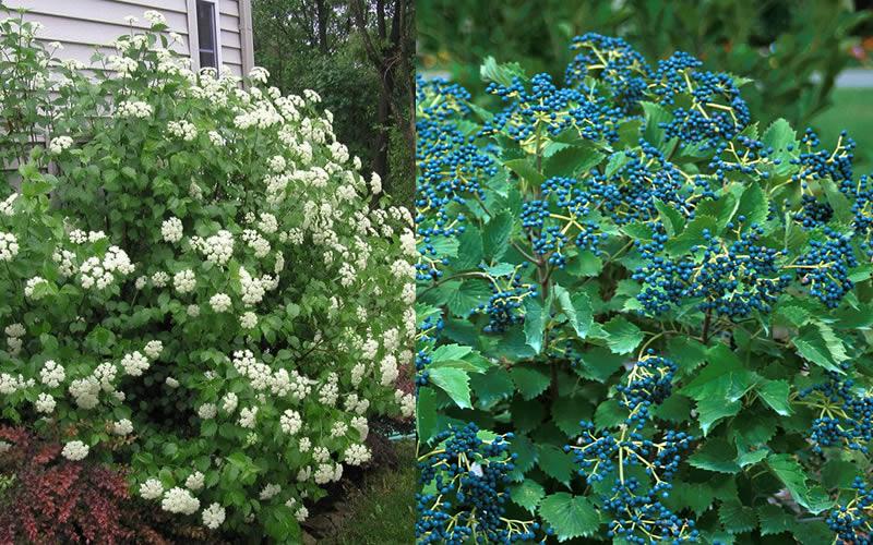 Plant Blueberry Bushes
