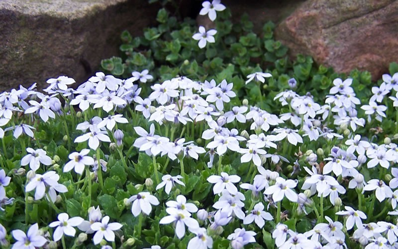 buy blue star creeper laurentia axillaris for sale online from wilson bros gardens. Black Bedroom Furniture Sets. Home Design Ideas