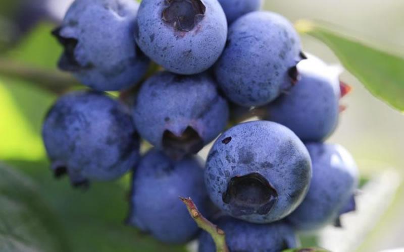 Buy Delite Rabbiteye Blueberry Bushes Free Shipping 1