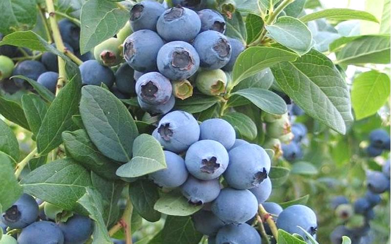 Buy Ochlockonee Rabbiteye Blueberry Bushes Free Shipping