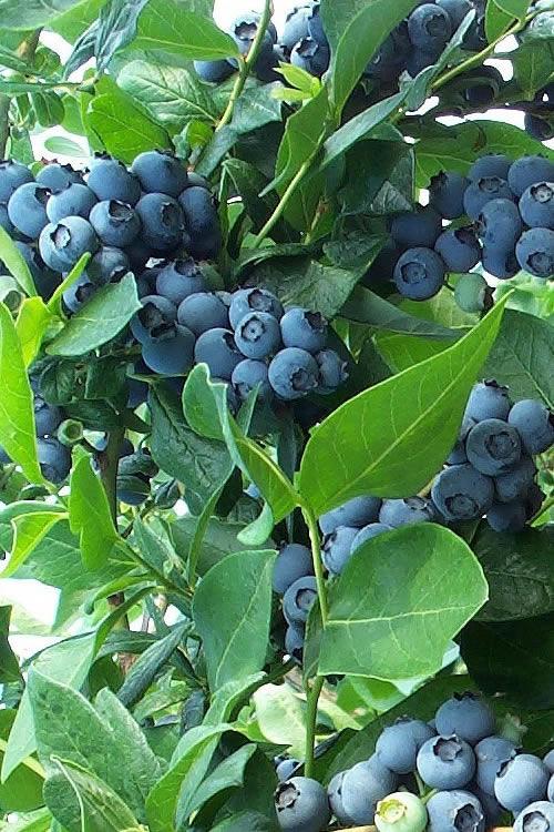 Buy Bonita Rabbiteye Blueberry Bush Free Shipping