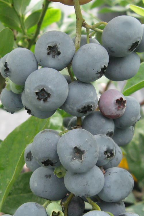 Buy Columbus Rabbiteye Blueberry Bush For Sale Online From