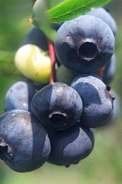 Buy Titan Blueberry Plants Free Shipping 1 Gallon Size