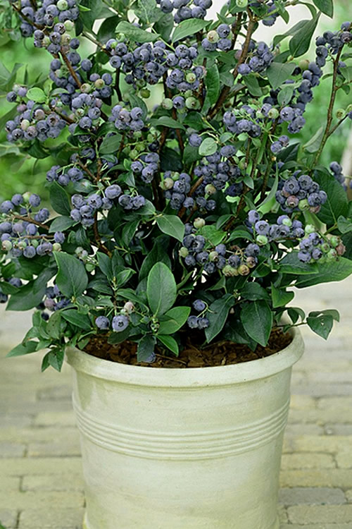 Buy Top Hat Dwarf Blueberry Free Shipping 1 Gallon