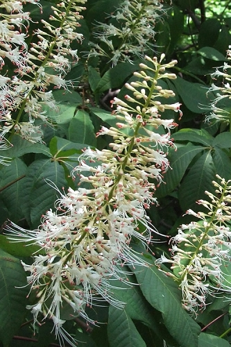 White Bottlebrush Buckeye - Aesculus parviflora - 5 Gallon Pot