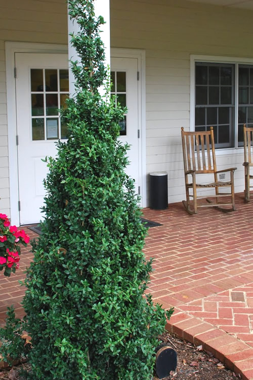 Buy Dee Runk Columnar Boxwood Free Shipping For Sale