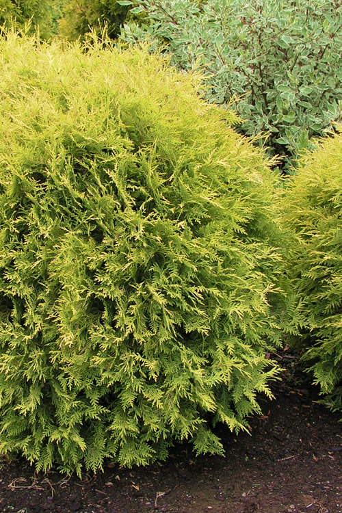 Golden Globe Arborvitae - 3 Gallon Pot