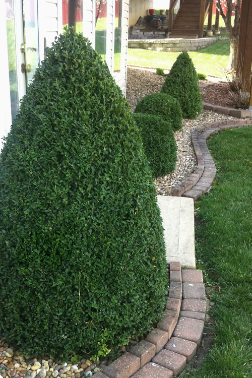 buy green mountain boxwood for sale online from wilson bros gardens
