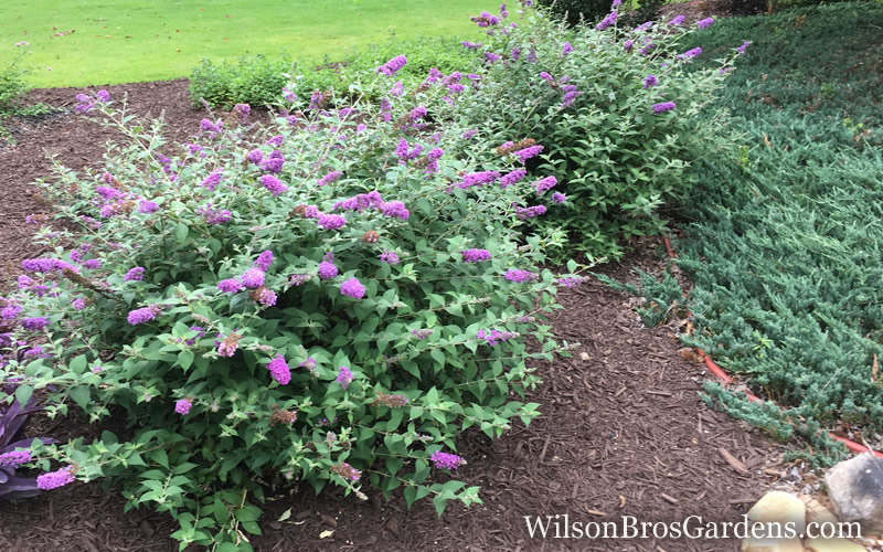 Buy Lo Amp Behold Blue Chip Dwarf Butterfly Bush Free