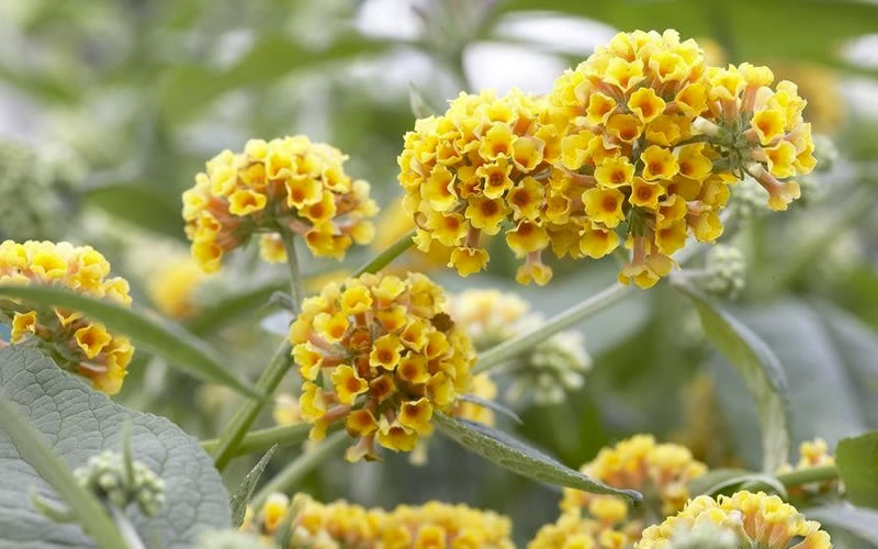 Buy Honeycomb Yellow Butterfly Bushes Free Shipping 3