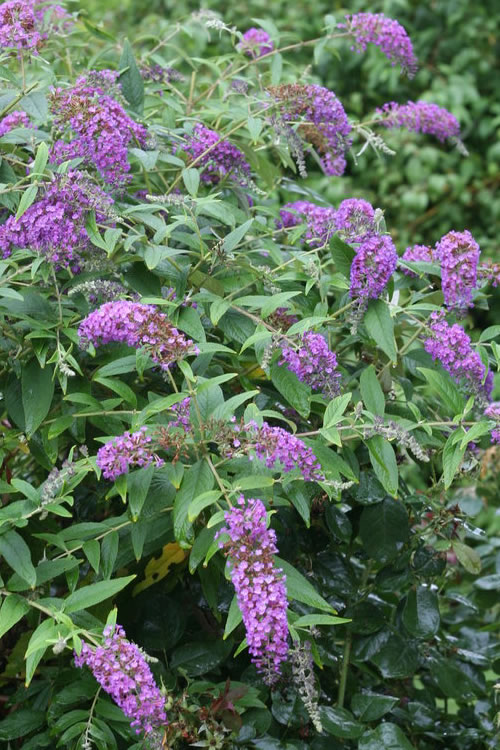 Lo & Behold Purple Haze Dwarf Butterfly Bush