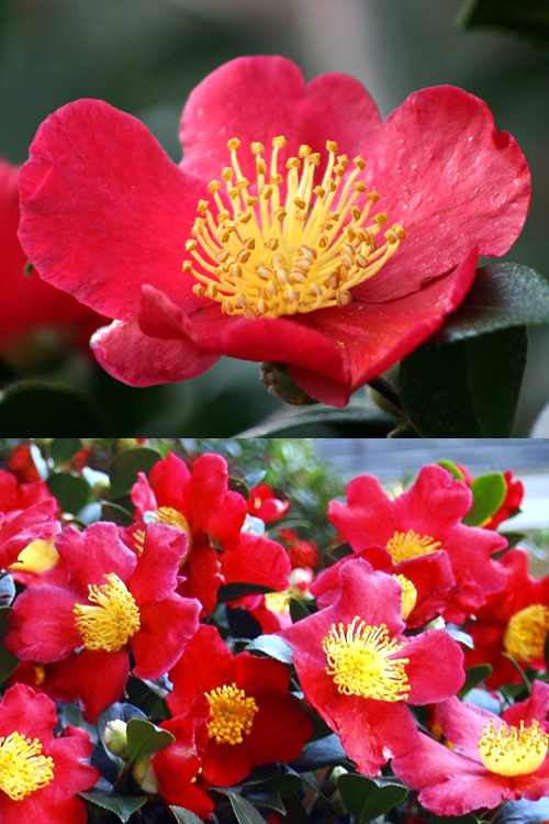 Buy yuletide camellia sasanqua plants for sale online from wilson yuletide camellia mightylinksfo