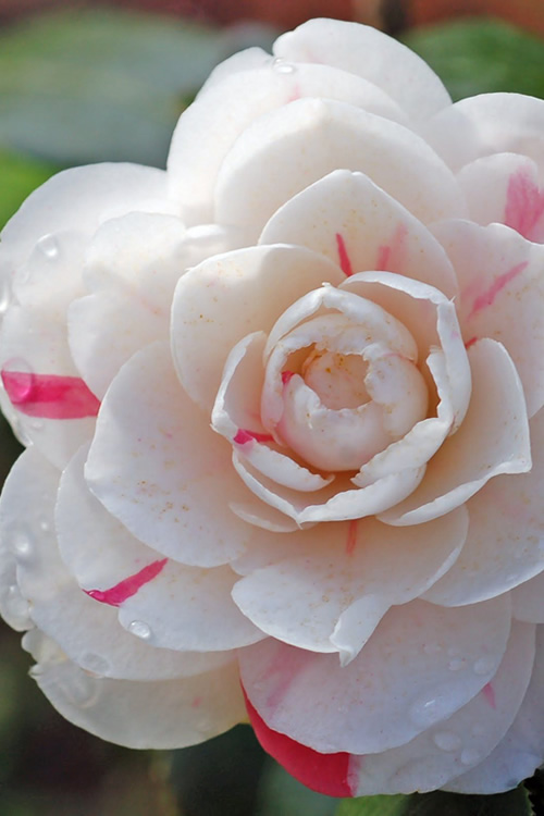 Buy April Dawn Camellia Plants For Sale Online From Wilson