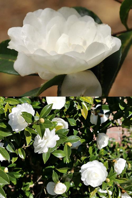 Buy Autumn Moon Camellia Sasanqua Bushes For Sale Online
