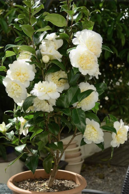 Buy Brushfield Yellow Camellia Plant Free Shipping For
