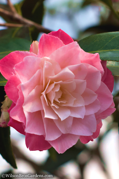 Buy Buttons N Bows Camellia Free Shipping Plants For Sale Online From Wilson Bros Gardens