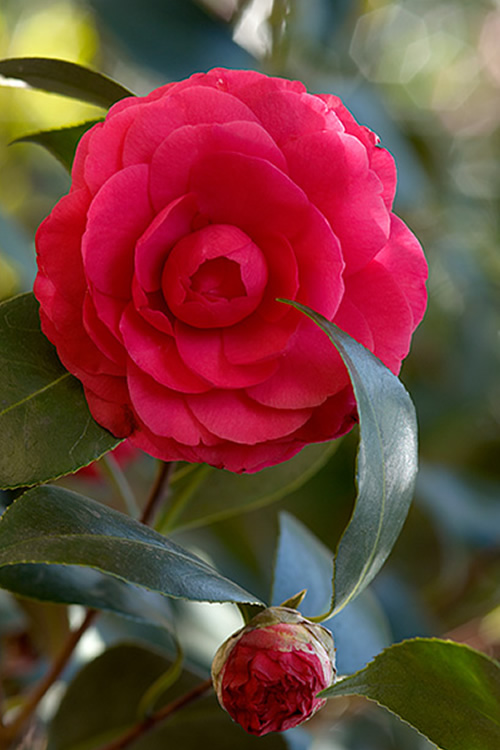 Buy C M Hovey Camellia Japonica Free Shipping For