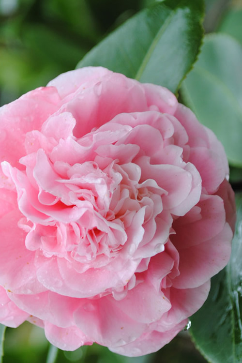 Buy Debutante Camellia For Sale Online From Wilson Bros