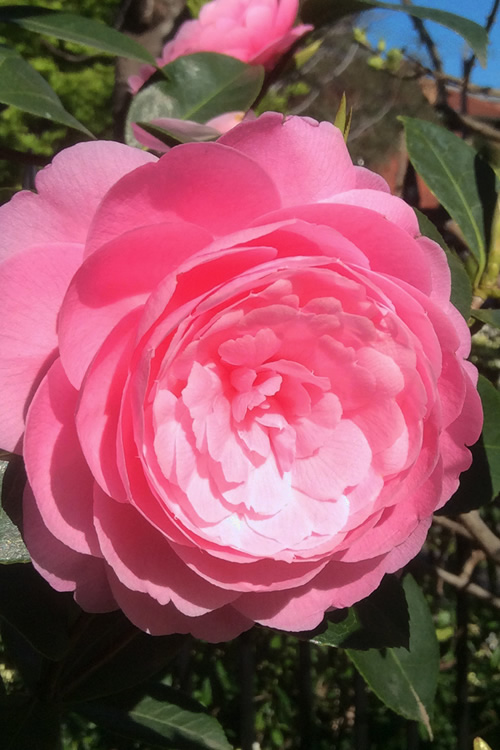 E.G. Waterhouse Camellia - williamsii hybrid - 3 Gallon Pot on
