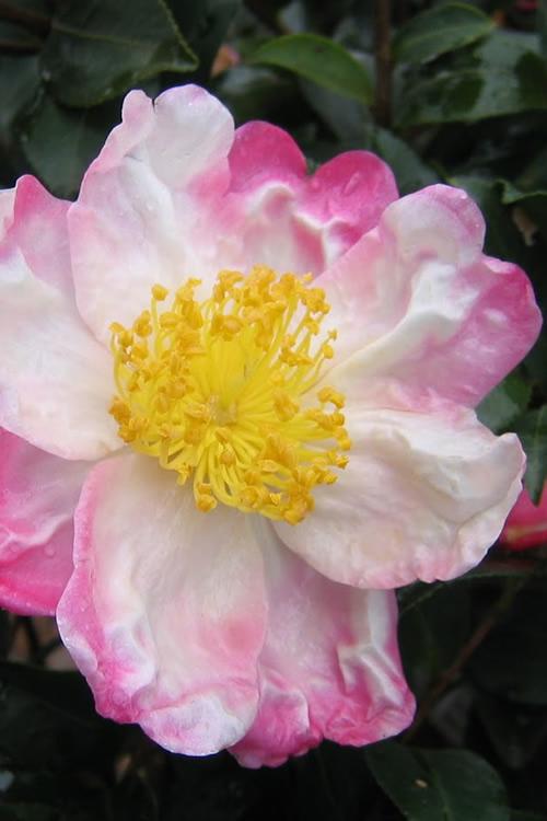 Buy hana jiman camellia sasanqua bushes for sale online from wilson hana jiman camellia sasanqua mightylinksfo