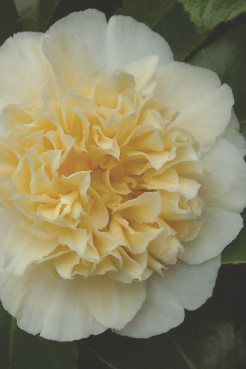 Jury's Yellow Camellia - 3 Gallon Pot