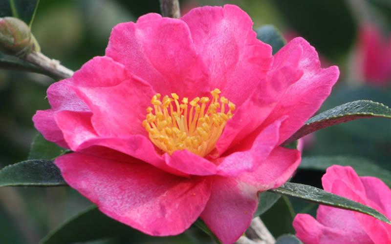 Buy Kanjiro Camellia Sasanqua Free Shipping 3 Gallon