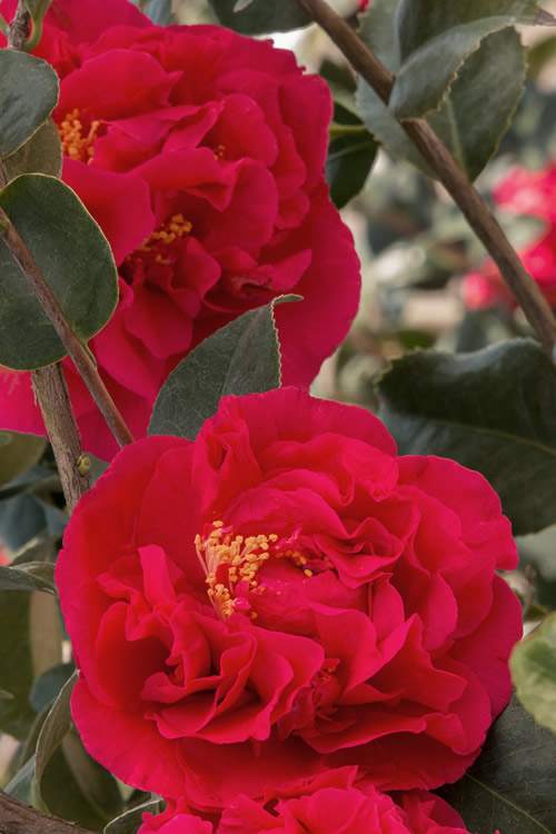 Turkey For Sale >> Buy Kramers Supreme Camellia For Sale Online From Wilson Bros Gardens