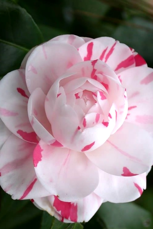 Buy La Peppermint Camellia Japonica Free Shipping 3