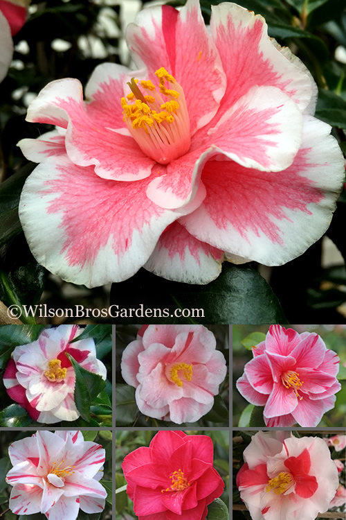 Lady Vansittart Camellia Japonica - 3 Gallon Pot