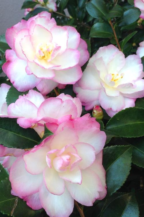Buy Leslie Ann Camellia Sasanqua For Sale Online From