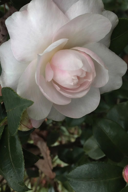 Buy October Magic Dawn Camellia For Sale Online From