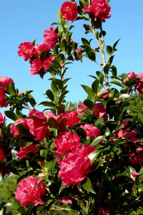 Buy October Magic Rose Camellia Plants For Sale Online