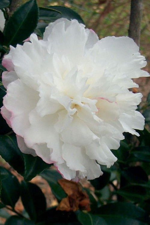 October Magic Snow Camellia - 2 Gallon Pot