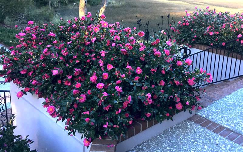 Shishi Gashira Dwarf Camellia