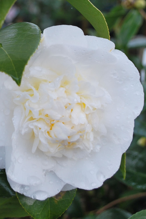 Snow Chan Cold Hardy White Camellia Japonica
