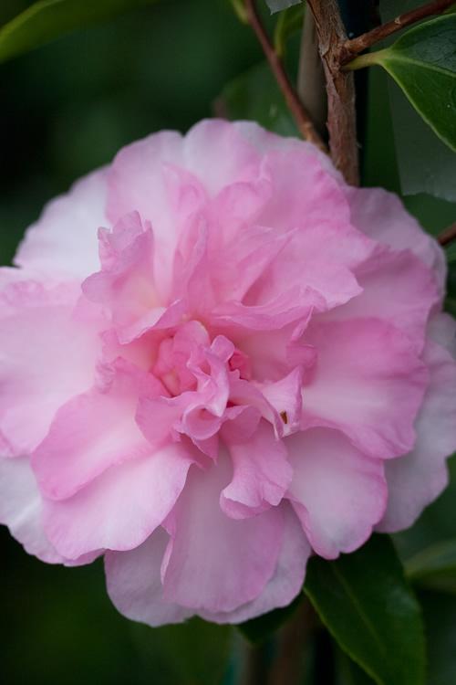 Buy Sarrel Dwarf Spreading Camellia Sasanqua Free Shipping 1