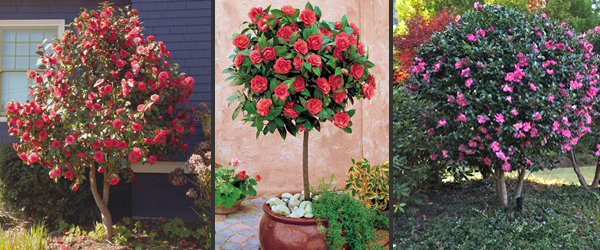 How And When To Prune A Camellia From The Experts At Wilson Bros