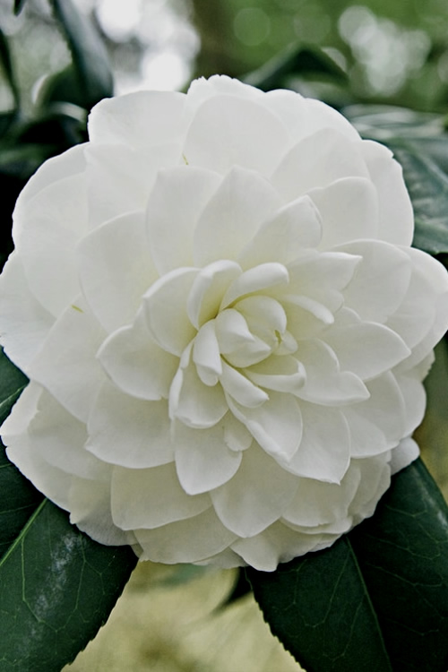 Buy White By The Gate Camellia Free Shipping For Sale