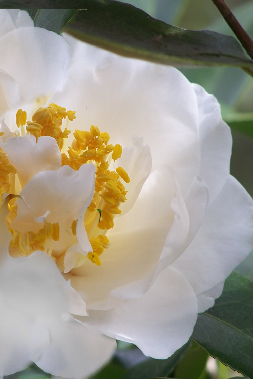 Buy White Empress Camellia For Sale Online From Wilson
