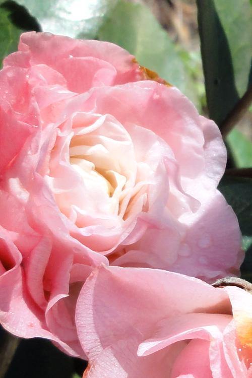 Buy Elizabeth Ann Camellia Japonica Plants For Sale Online