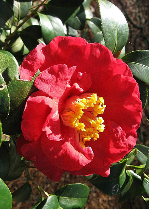 Don Mac Camellia Japonica - 3 Gallon Pot