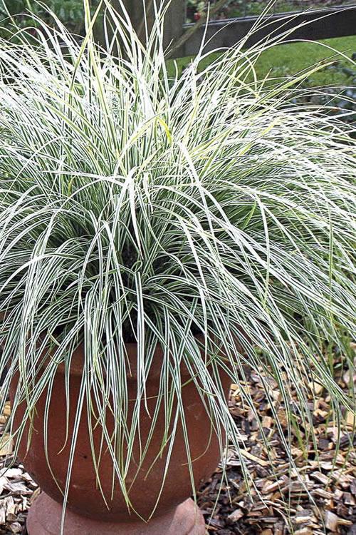 Buy Evercolor Everest Carex Sedge Grass Free Shipping