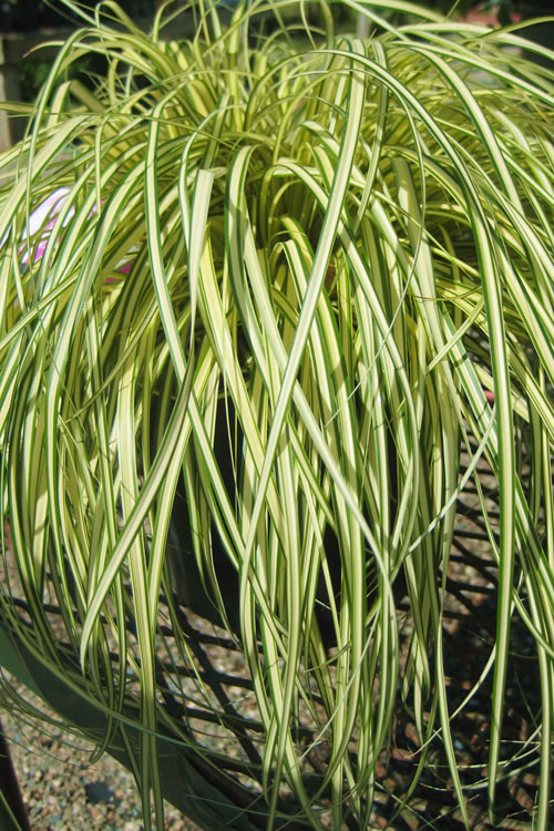 buy evergold japanese sedge carex hachijoensis for sale online from wilson bros gardens. Black Bedroom Furniture Sets. Home Design Ideas