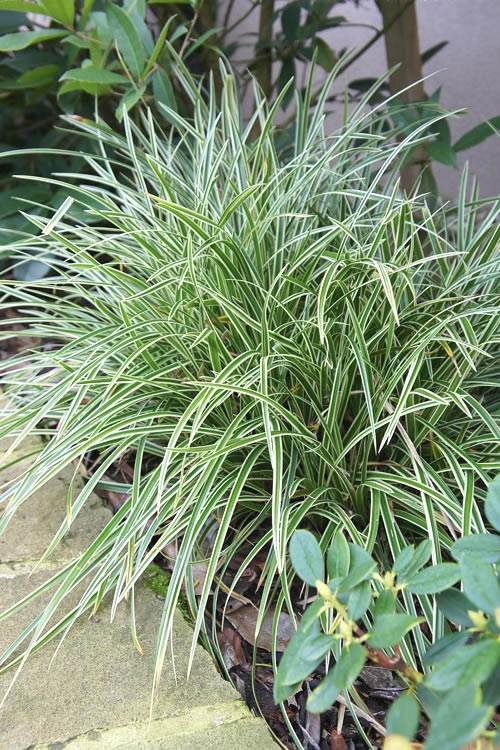 Buy Carex Ice Dance Sedge Grass For Sale Online From