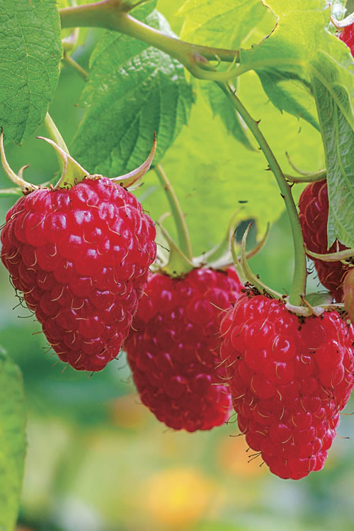 Buy Caroline Raspberry Plants For Sale Online From Wilson