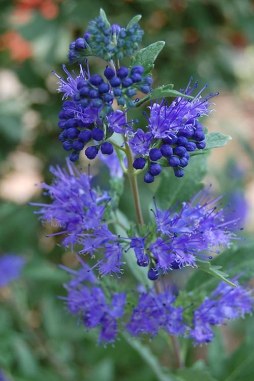Buy Longwood Blue Caryopteris For Sale Online From Wilson