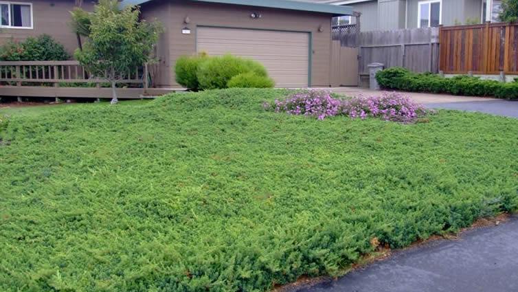 buy the best low growing junipers online from wilson bros gardens, Natural flower